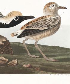 Black-bellied Plover Audubon Prints, Birds Of America, Beautiful Birds, Animals, Black, Animales, Animaux, Black People, Animal