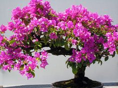I love bonsai bougainvillea