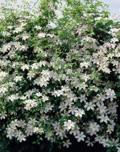 """Clematis 'Huldine'. EASY, 10-15'. Full sun, LATE, long bloom July-Sept. Likes fences. Blooms on new wood. Prune #3, to the soil level in winter. Peel off like a blanket. Companion-plant with C. """"Proteus"""" or """"Polish Spirit."""""""