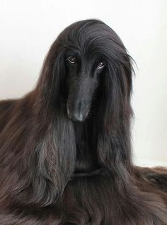 Those eyes are absolutely mesmerizing! Such a gorgeous Afghan Hound!
