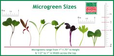 Sizes of Microgreens, they may be little but they are packed with nutrients. 4-6xs more nutrients than a full grown vegetable.