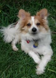 Arley (in TX) is an adoptable Papillon Dog in Arlington, TX. Hey ya'll, Arley in North Texas here! I am one big bundle of energy and would really love a kid to be my bestest buddy maybe 10-15 yrs old....