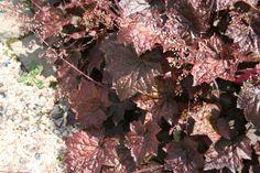 Purperklokje (Heuchera micrantha 'Palace Purple'). Niet in volle zon, 40-60 cm