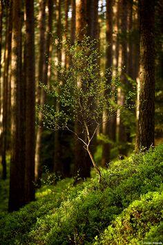 Young Birch  (Betula), jonge berk ~ by Philip Klinger