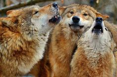 WOLVES........PARTAGE OF VIVE LES LOUPS.......ON FACEBOOK.......