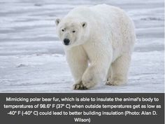 Polar Bear, Ursus maritimus, from Alaska, USA by Alan Wilson via Wikimedia Commons (cc-by-sa) Arctic Animals, Zoo Animals, Cute Baby Animals, Wild Animals, Polar Bear Fur, Polar Bears, Dangerous Animals, Cute Animal Videos, Animals Of The World