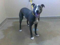 BLUE-ID#A584074    My name is BLUE.    I am a neutered male, blue and white Pit Bull Terrier mix.    The shelter staff think I am about 1 year old.    I have been at the shelter since Oct 27, 2012.