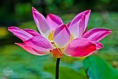 LOTUS, fleur sacrée, siège de divinité #lotus #fleursacree #voyageBali