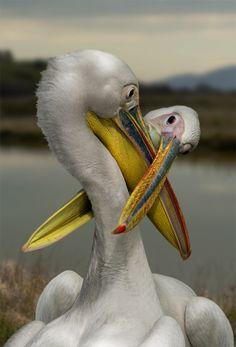 Pelicans by Carlo Durano
