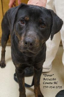 #GEORGIA #REDLISTED -> 4/10/13  Dover A024280 male HW+ Rottweiler mix in #Newnan. This fella is a sweetheart! When we took him out to get to know him & to take his pics & video...we couldn't have been more pleased. He's wonderful & when we walked him by the other dogs...there was just no reaction whatsoever. NONE. Just watch his video!  He DESPERATELY needs a 2nd chance at love & safety. In person #adoptions #rescue Only COWETA COUNTY ANIMAL SHELTER   91 Selt Rd #Newnan GA 30263   P…
