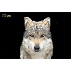 National Geographic photographer Joel Sartore is on a mission to document every captive animal species in the world. National Geographic Images, National Geographic Photographers, Extinct Animals, Zoo Animals, Festival Photo, Amur Leopard, Beautiful Wolves, Beautiful Things, Animal Species
