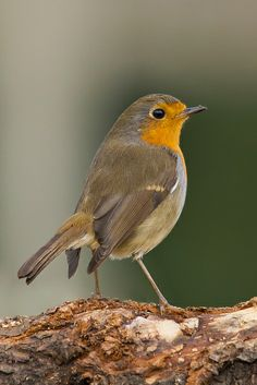 Sweet Little Robin