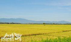 Aceh Planet – Pesona Persawahan Blang Awee Meuredu