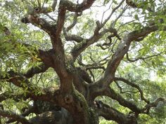 Angel Oak- John's Island, SC