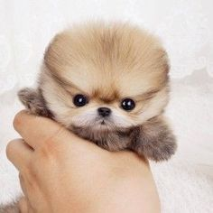 The Teacup Pomeranian is a small, active and adorable dog breed. Like any other type of dog breeds, Teacup Pomeranian dog not only has a long and inter Teacup Pomeranian Puppy, Teacup Puppies, Micro Pomeranian, Teacup Maltese, Puppy Breeds, Small Dog Breeds, Small Dogs, Tiny Puppies, Cute Puppies