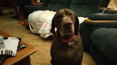 Wisconsin German Shorthaired Pointer Rescue WGSPR Inc. - Tic