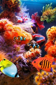 I love the colors of marine life! Nice shot of a tropical saltwater fish tank … lionfish, clown fish, anemones, etc.