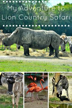 Drive through zoo in the heart of West Palm Beach, plus they have amusement rides, souvenirs, reptile and bird exhibits, and a cafe onsite that are included in the admission price. My favorites are the rhinos and spider monkeys.