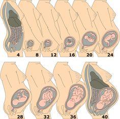 Czy wielkość i kształt brzucha przyszłej mamy ma znaczenie? Przyszłe mamy często sprawdzają, czy ich brzuch różni się wielkością i kształtem od brzuchów innych kobiet w ciąży. Najważniejsza jest jednak wysokość macicy w stosunku do pępka, ponieważ jeśli jest zbyt mała, lekarz może skierować cię na dodatkowe badanie USG.  Przed czwartym miesiącem ciąży zanika charakterystyczne wcięcie w talii oraz następują przemieszczenia narządów wewnętrznych.