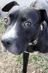 Sheila, the American Staffordshire Terrier