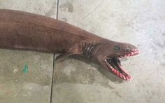 A frilled shark was found off the coast of Australia, very rare, considered living fossil