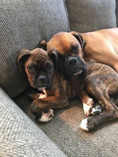 For the life and love of Chief the Boxer Dante' was supposed to be my husbands on my gift to each other. Seems he was actually a gift for his big brother Chief
