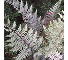 ghost fern-looks like Japanese painted fern...