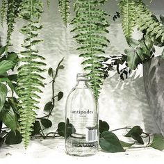 🌿 __ By Cabramatta / Australia ✖️ Plant Leaves, Glass Vase, Plants, Advertising, Australia, Drinks, Home Decor, Drinking, Flora