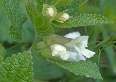 https://flic.kr/p/f2Py6F | Melittis melissophyllum  -  Immenblatt  ( reinweisse Sippe aus Kärnten ) | normalerweise ist die Lippe violett gefärbt  PICT0118-p3-w