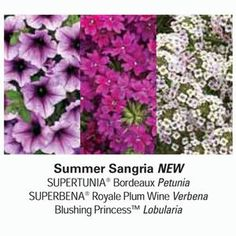 Three in one plant combination! Enjoy the beautiful colors of Supertunia® Bordeaux, Lobularia Blushing Princess and Superbena® Royale Plum Wine Verbena planted in your landscape or in your container gardens. $24.99