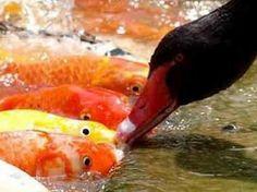 Ducks feeding Koi