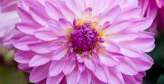 Cara Menanam dan Merawat Bunga Dahlia serta Manfaatnya