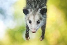 Opossum :)
