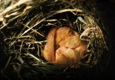 Dormouse hibernating - he looks so cosy and snug #cosyautumn