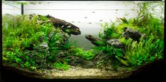 My low tech tank, The Gap, 112l – about one and half months after setup.