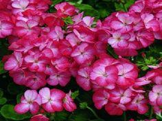 15 Geranium Film Coated MultiBloom Scarlet Multi Bloom Geranium Seeds