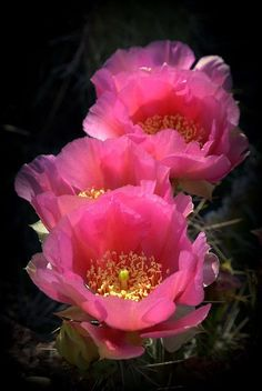 Prickly Pear Cactus Flowers Art Print by Nathan Abbott. All prints are professionally printed, packaged, and shipped within 3 - 4 business days. Choose from multiple sizes and hundreds of frame and mat options.