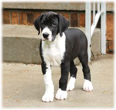 8 weeks old. This is what Dakota will look like when we finally get him