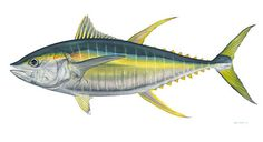 Yellowfin Tuna is harvested fresh from our plants in Ecuador. The Yellowfin Tuna is sought out by many, we offer grades up to Sushi Grade Detailed Paintings, Fish Drawings, Surf City, Salt And Water, Deep Sea, Portrait, Art History, Animal Pictures, Dolphins