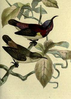 suimanga mínimo (Leptocoma minima),2 también conocido como nectarina chica,3 es una especie de ave paseriforme de la familia Nectariniidae endémica de los Ghats occidentales de la India.  Al igual que otros suimangas, se alimenta principalmente de néctar aunque también come insectos, sobre todo para alimentar a sus crías. Son aves diminutas que residen y se encuentran en los bosques