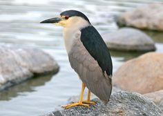 Black-crowned Night Heron, Nycricorax nycticorax  This bird comes to our park in Lake Forest, CA.
