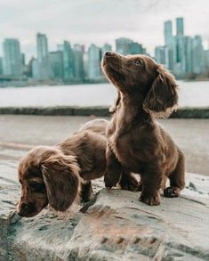 """Awesome """"Dachshund dogs"""" information is readily available on our site. Dachshund Funny, Dachshund Puppies, Weenie Dogs, Cute Dogs And Puppies, Dachshund Love, Dachshund Clothes, Dachshund Gifts, Dachshund Drawing, Dachshund Tattoo"""