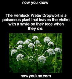 The Hemlock.