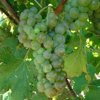 Vignoles (Ravat 51) vines are cold hardy, with late bud break. Clusters of white berries are small and compact with susceptibility to botrytis fruit rot, but Vignoles is a very versatile variety with the potential for excellent wine quality. Vignoles can produce many different types of wine, and is frequently used for dessert wine. Wines made from ripe fruit have tropical fruit, citrus and pineapple flavors. Pairs well with spicy foods.