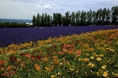 富良野 - 薰衣草(Lavender)