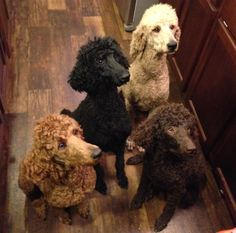 """""""Norma Jean, Willie Pearl, Ellie Mae and Lisa Marie at Dog Pond Farms"""" What beauties!"""