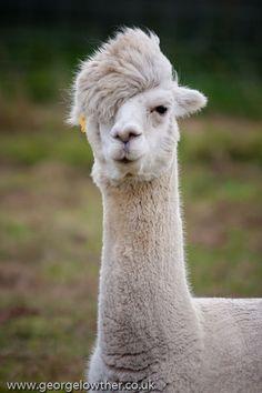 イケメンアルパカ Good looking alpaca