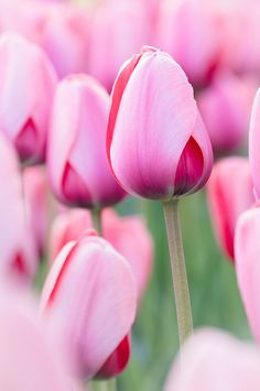 Day 3: Sea of Tulips by Out Of Chicago, via Flickr