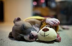 puppy pit-bull napping - stuffed toy