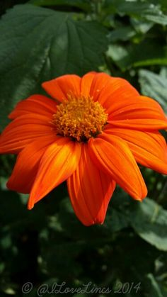 Don't you just love a Tithonia!